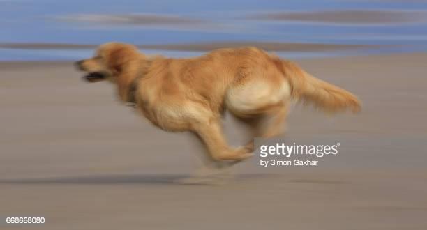 Dynamic Photograph of a Younbg Golden Retriever Running on the Beach