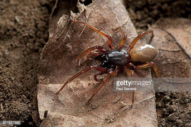 dysdera crocata (woodlouse spider, slater spider) - potato bug stock pictures, royalty-free photos & images