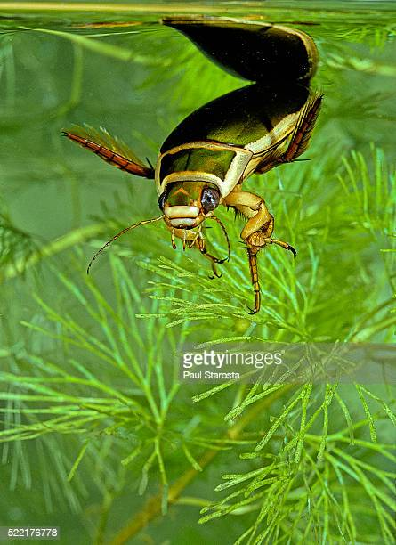 dytiscus marginalis (great diving beetle) - diving beetle stock pictures, royalty-free photos & images