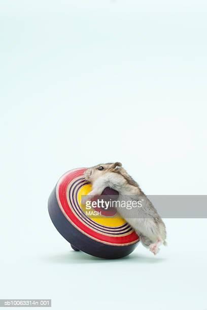 dzhungarian hamster (phodopus sungorus) climbing spinning top, studio shot - hamster imagens e fotografias de stock