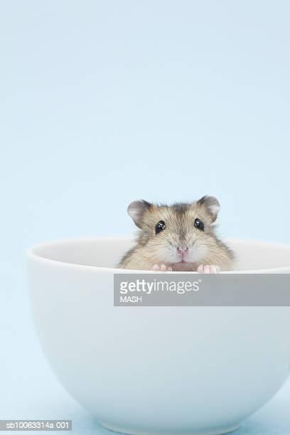 Dzhungarian hamster (Phodopus sungorus) in bowl, studio shot