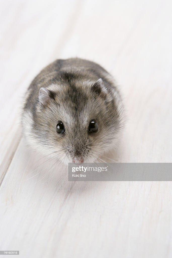 Hamster asian teen types — img 4