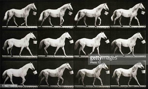 Eadweard Muybridge A sequence of photographs showing a horse walking with a bucket circa 1867