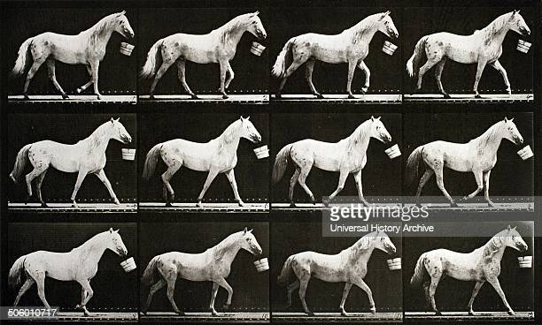 Eadweard Muybridge A sequence of photographs showing a horse walking with a bucket circa 1867