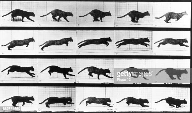 Eadweard Muybridge 'cat leaping' 1888