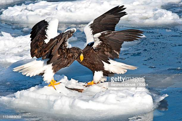 eagels engaged - drake passage stock photos and pictures