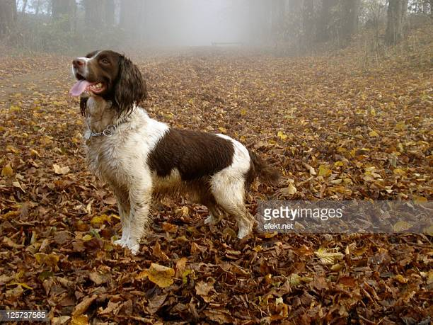 eager springer spaniel - springer spaniel stock pictures, royalty-free photos & images