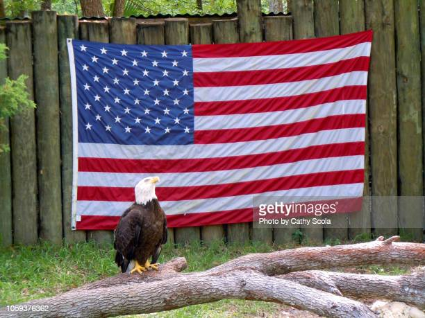 eagle and flag - bald eagle with american flag stock pictures, royalty-free photos & images