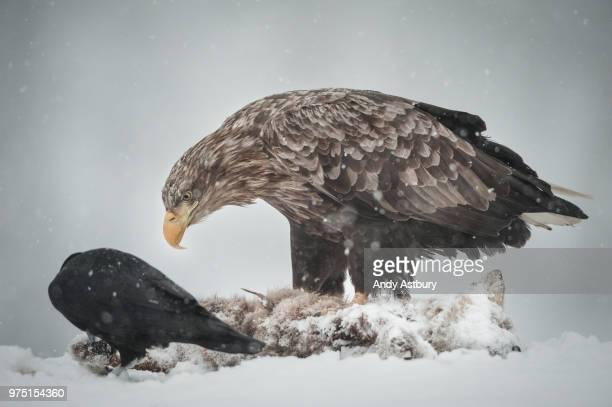 eagle and raven on prey - dead raven stock photos and pictures