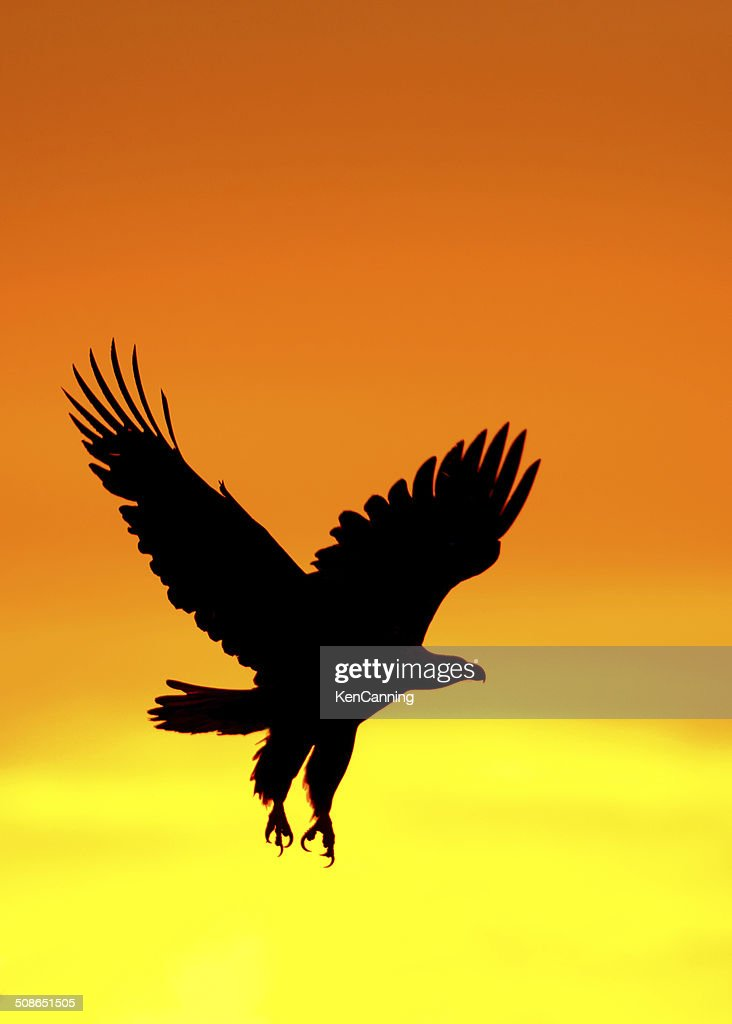 Eagle at Sunset : Stock Photo