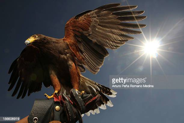 eagle backlight - chicken hawk stock pictures, royalty-free photos & images