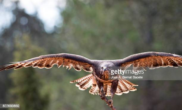 Eagle common Buzzard (Buteo buteo) , with the widespread wings gliding on the air, I appear of settling ,Spain.