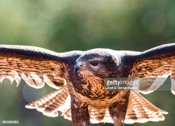 Eagle common Buzzard (Buteo buteo) , with the widespread wings gliding on the air. Natural Park in the Sierra Mariola Bocairent, Valencian Community, Spain.
