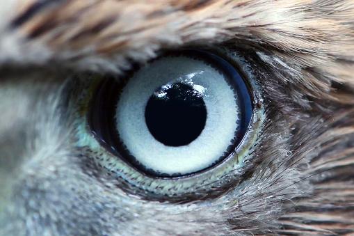 Eagle eye close-up, macro, eye of young Goshawk (Accipiter gentilis) 1043085648