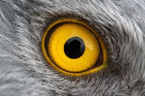 eagle eye close-up, macro photo, eye of the male Northern Harrier 938978078
