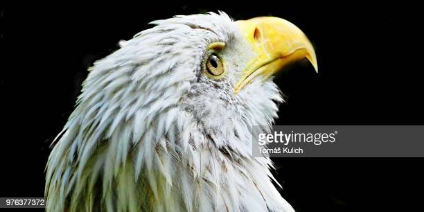 eagle eye - czech hunters stock photos and pictures