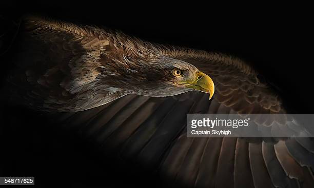 eagle face - eagle bird stock photos and pictures