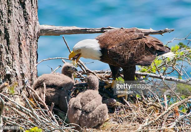 Eagle Nest pollos en período de lactancia