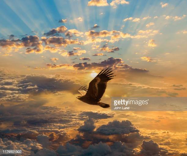 eagle flying against sunbeam sunset - eagle flying stock pictures, royalty-free photos & images