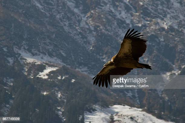 Eagle Flying By Snowcapped Mountain