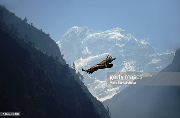 Eagle flying free in Himalayas