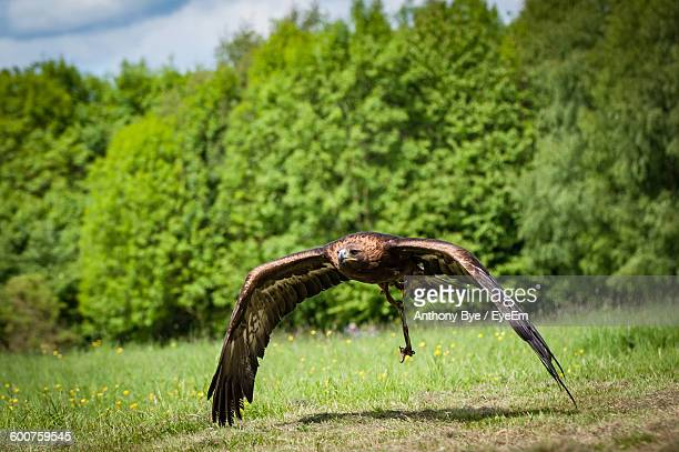 Eagle Flying Over Grassy Field Against Trees