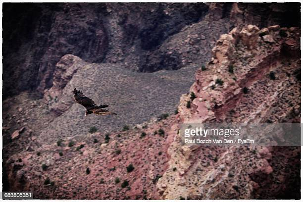 Eagle Flying Over Rocky Mountains At Grand Canyon