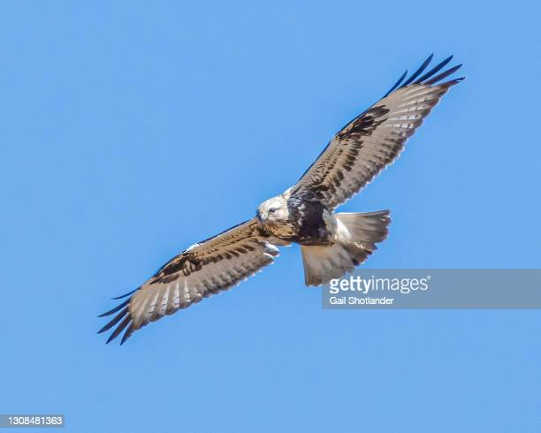 eagle flying - canada stock pictures, royalty-free photos & images