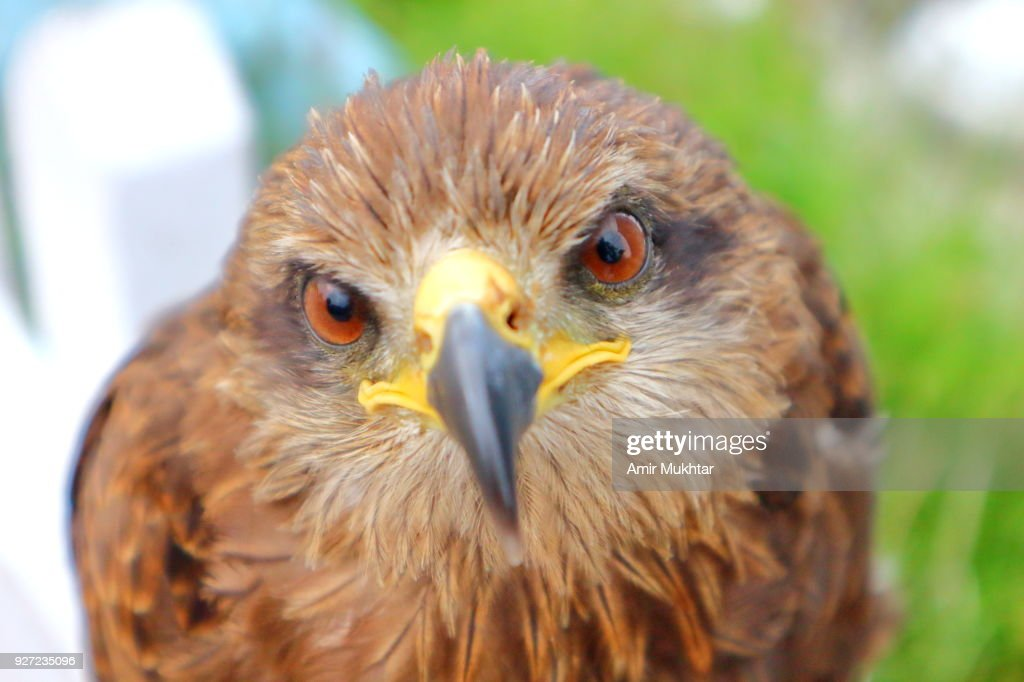 Eagle for business : Stock Photo