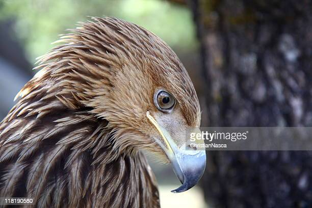 Eagle hanging its head (series)