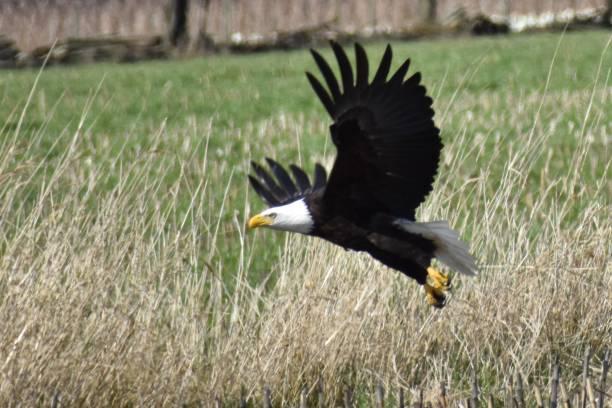 Eagle Hunting Prey