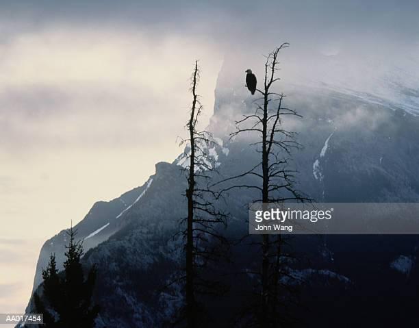 Eagle in a Tree Near Banff, Canada