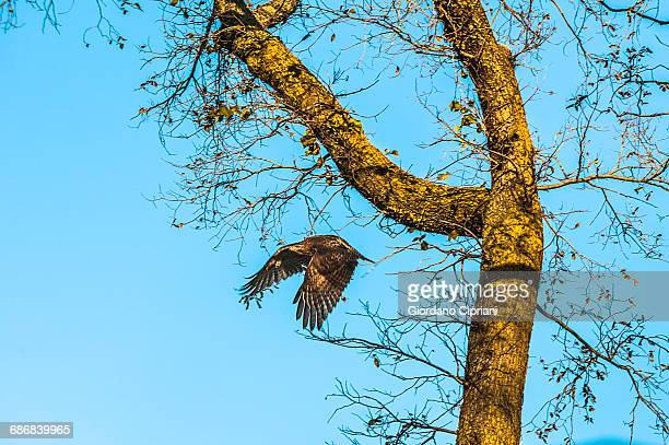 eagle in central park - cipriani manhattan stock pictures, royalty-free photos & images