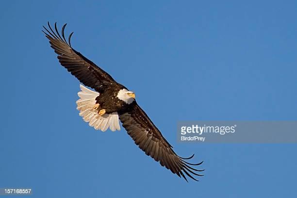Eagle en vuelo.