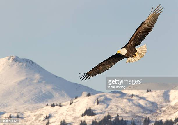 Eagle in mid-flight soaring over snow-covered mountains