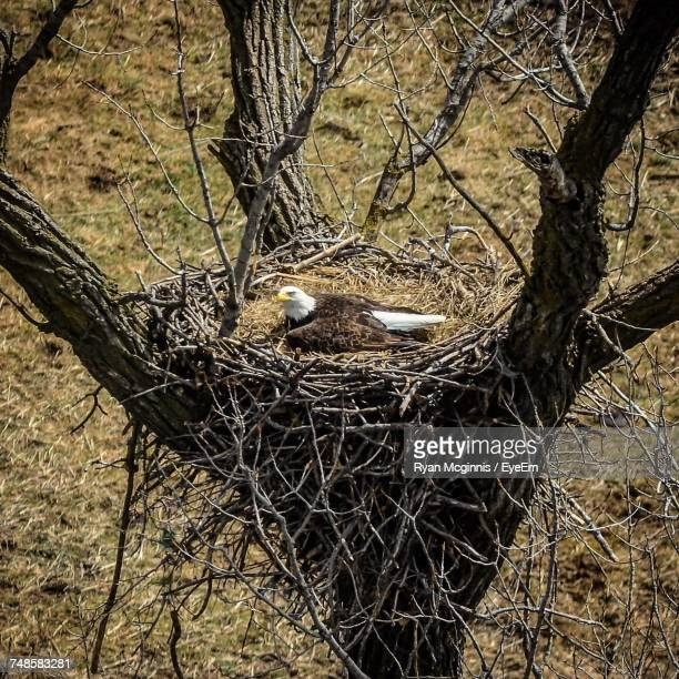 eagle in nest - eagle nest stock photos and pictures