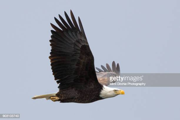 eagle in profile - bald eagle stock pictures, royalty-free photos & images