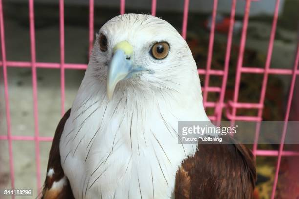 Eagle is seen after being given by the residents to Nature Conservation Agency Indonesia on September 08 2017 in Pontianak Indonesia All animals that...