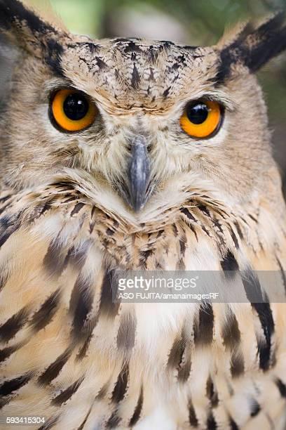 Eagle owl at Asahiyama Zoo, Asahikawa, Hokkaido, Japan