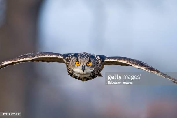 Eagle Owl, Bubo bubo, Glos UK, controlled.