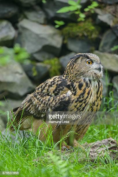 eagle owl, bubo bubo - hibou grand duc photos et images de collection