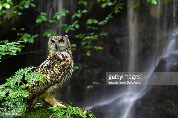 Eagle Owl by Waterfall