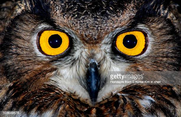 eagle owl eyes - hibou grand duc photos et images de collection