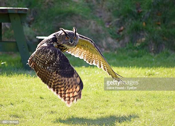 eagle owl flying over grass - gufo reale foto e immagini stock