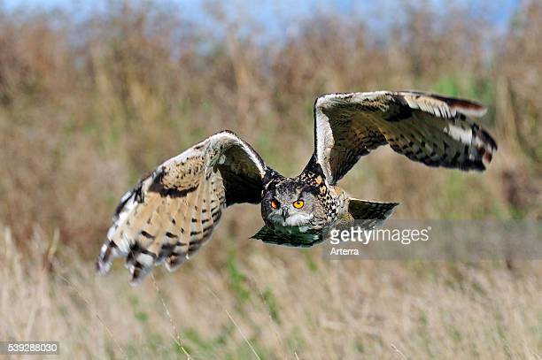 Eagle owl flying over meadow England UK