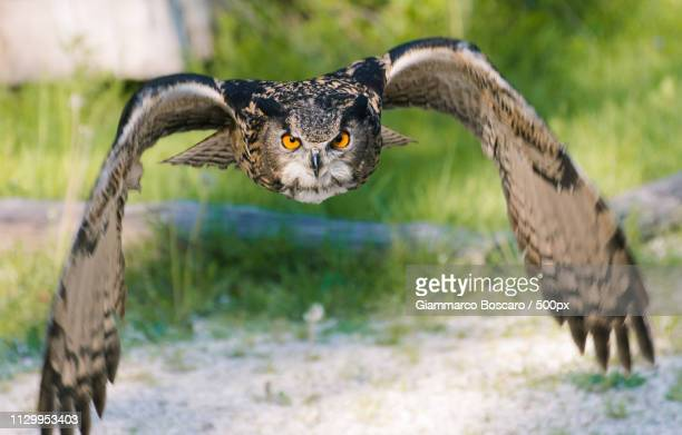 eagle owl flying - gufo reale foto e immagini stock