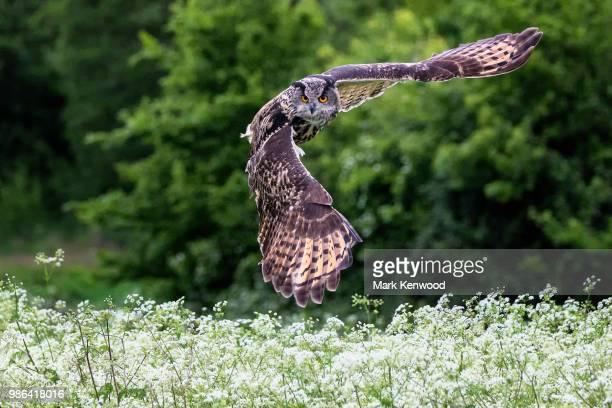 eagle owl hunting - gufo reale foto e immagini stock