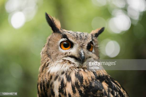 eagle owl in nature - eurasian eagle owl stock pictures, royalty-free photos & images