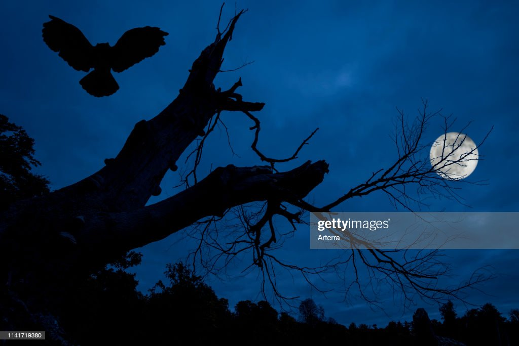 Eagle owl landing in creepy branches and trunk of dead tree silhouetted against blue night sky with full moon over spooky forest. : News Photo