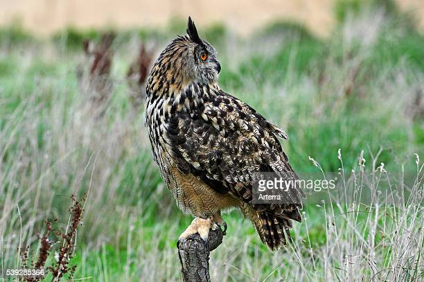Eagle owl looking backward in meadow